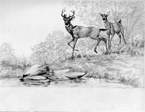 deer pencil drawing  art  monte ellis