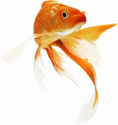 Fish Goldfish Bowl Clipart Koi Icon Pluspng