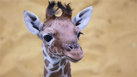 Meet Our Beautiful Baby Giraffe!