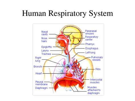 Anatomy Of Respiratory System Functions