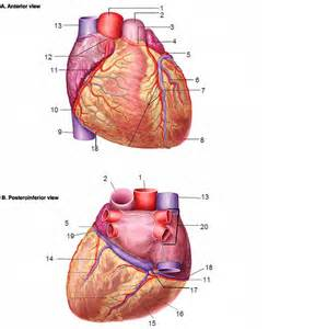 Coronary Vessels Quiz - By thebrend88