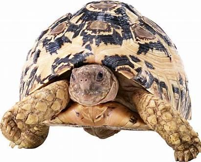 Turtle Transparent Virtuellife Animals Animaux Tubes Ou