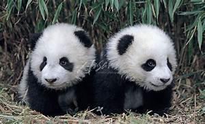 Panda cubs | Bears | Pinterest