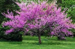 39 forest pansy 39 eastern redbud garden tree the wishing tree company