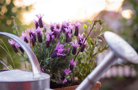 Lavanda Coltivazione In Vaso Pianta Di Lavanda Coltivazione In Vaso Cure Naturali It
