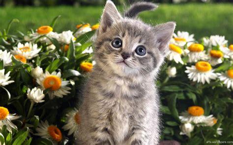 Kitten Backgrounds by Kitten Wallpapers Wallpaper Cave