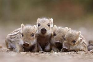 Baby Piggies
