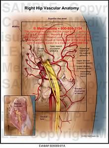 Medivisuals Right Hip Vascular Anatomy Medical Illustration