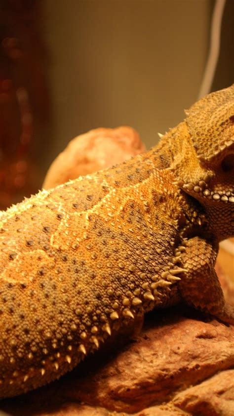 Find the best dragon phone wallpaper on getwallpapers. Lizards reptile bearded dragon wallpaper   (20712)
