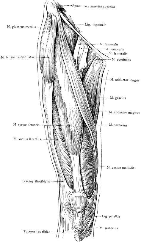 anterior view   superficial muscles   thigh