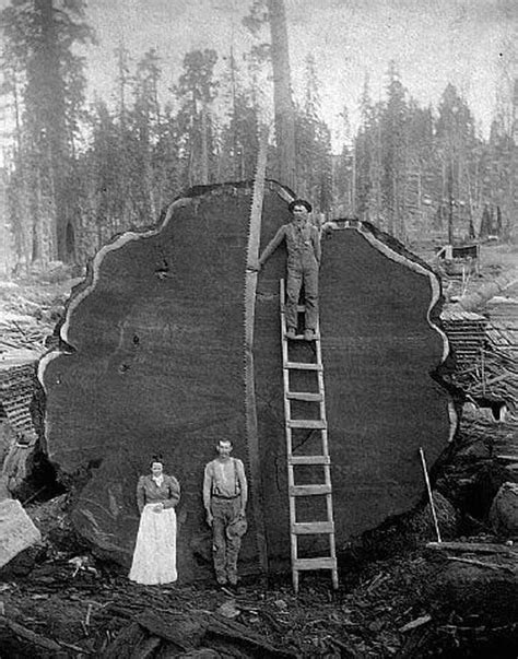 Arboriculturalism: Redwood Old Growth Logging Photo