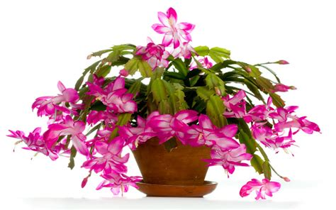christmas plants images christmas cactus how to grow and care for christmas cactus garden lovers club