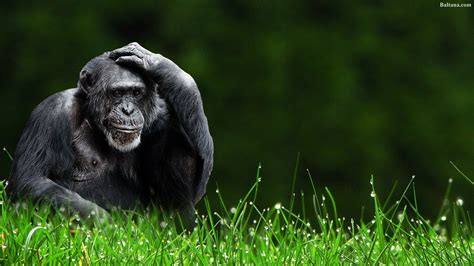 Monkey Background Monkey Wallpapers Hd Backgrounds Images Pics Photos