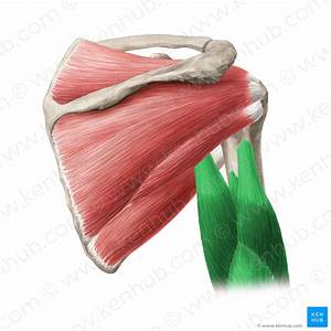 Teres Major Muscle  Anatomy  Function  Clinical Aspects
