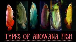 Arowana Species | Types of Arowana fish | Red Arowana ...