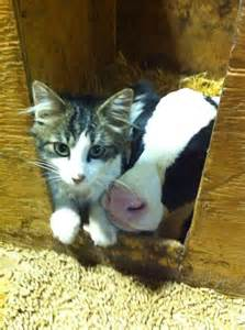 cat and cow cow and cats quotes quotesgram