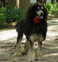 images  poodles corded  pinterest poodles