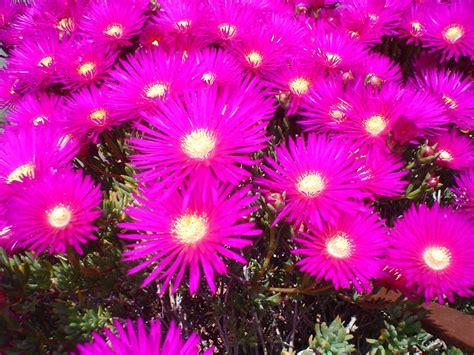 piante con fiori fucsia preview preview di piante grasse categoria