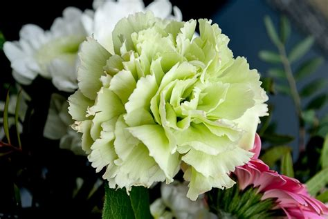fiori garofano garofano cure e coltivazione