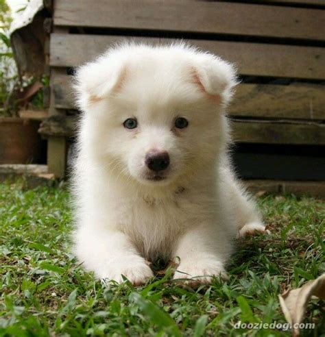 Samoyed Puppy Super Cute And A Great Large Breed Dog For