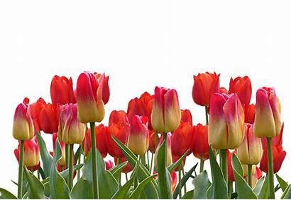 Tulips Flowers Flower Spring Nature Tulip Bunga