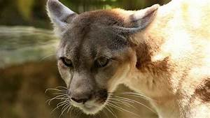 Runner survives attack by choking mountain lion to death ...