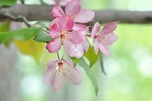 Rosa Blühende Bäume April : foto japanische kirschbl te rosa farbe blumen bl hende b ume ~ Michelbontemps.com Haus und Dekorationen
