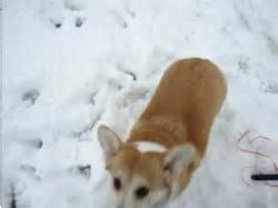 snow winter funny playing corgi Walking corgimerriness •