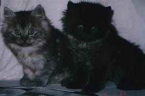 Siberian kittens of traditional colour