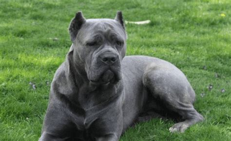 cane corso mastiff puppies for sale imgpuppy