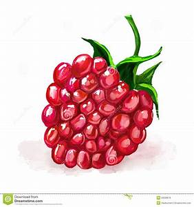Raspberry Vector Illustration Hand Drawn Painted Stock ...