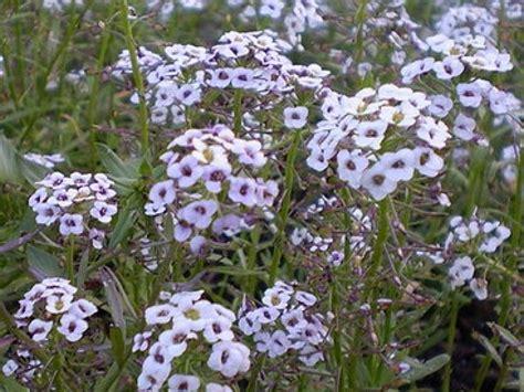 cuisine plus tv programme l 39 alysse odorante une fleur facile à cultiver