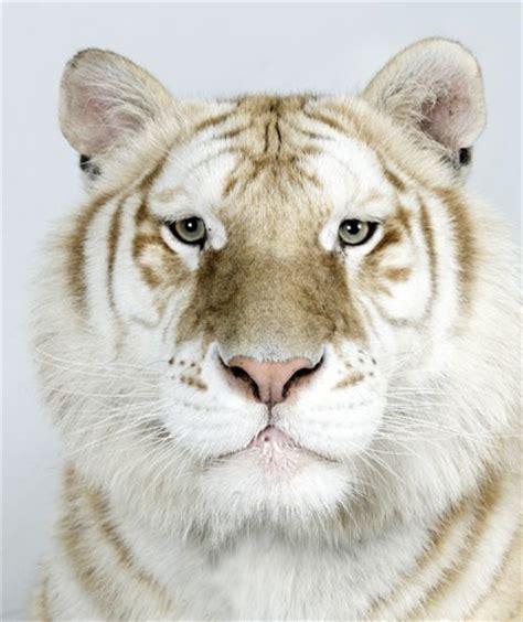 Golden Tabby Tiger Big Cats Pinterest