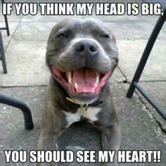 Funny Pitbull Memes - pitbull with a big heart what breed is it