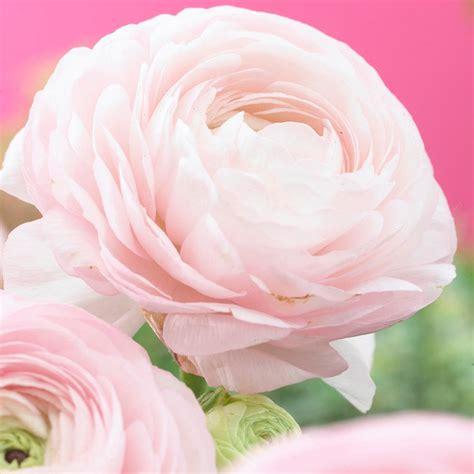 zyverden butter cups bulbs ranunculus pink set of 25