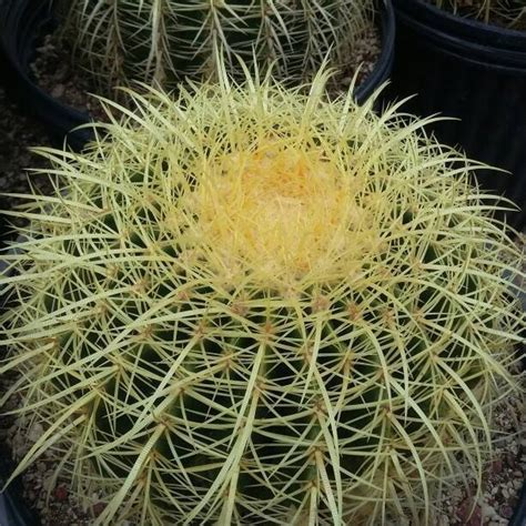 cactus  suculentas raras  comunes  en mercado libre