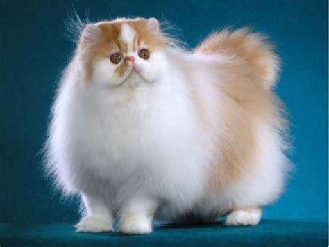 jenis kucing anggora dan ciri cirinya yang harus kamu tahu