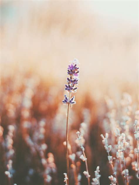 lavender  tumblr