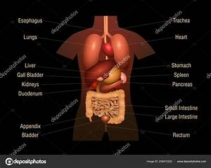 Human Organs Labeled