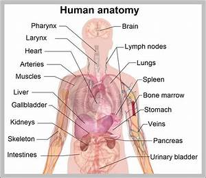 Organ Anatomy  U2013 Graph Diagram