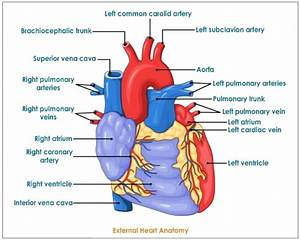 Diagram  Human Heart Anatomy Diagram
