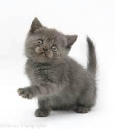 Grey Kitten with White Paws