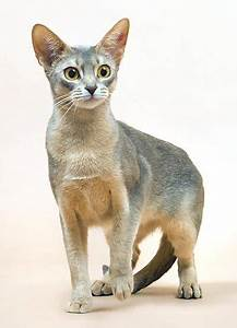 Abyssinian - Blue. | Animal Love | Pinterest