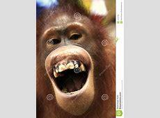 Der lachende OrangUtan stockfoto Bild von lachen, borneo