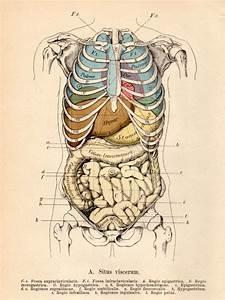 1901 Anatomy  Antique Print  Vintage Lithograph  Situs