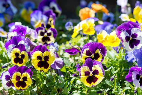 beds to buy how to grow and care for pansies