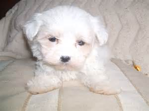 Baby Maltese Puppies