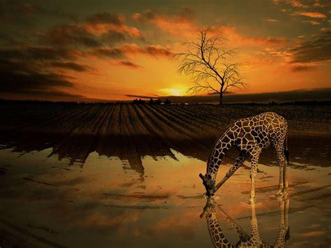 giraffe water tree  image  pixabay