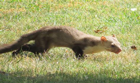 que mange une fouine la fouine un petit animal curieux et mal aim 233