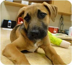 Branden | Adopted Puppy | Schertz, TX | German Shepherd ...